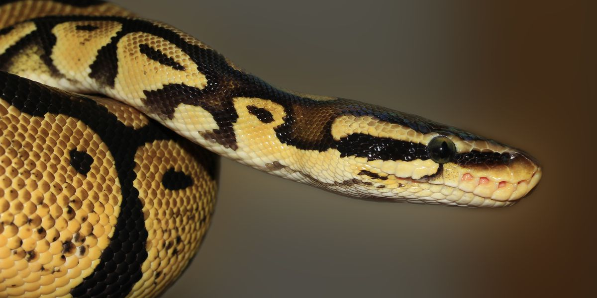 Leland town council expected to vote in favor of banning popular pet snakes