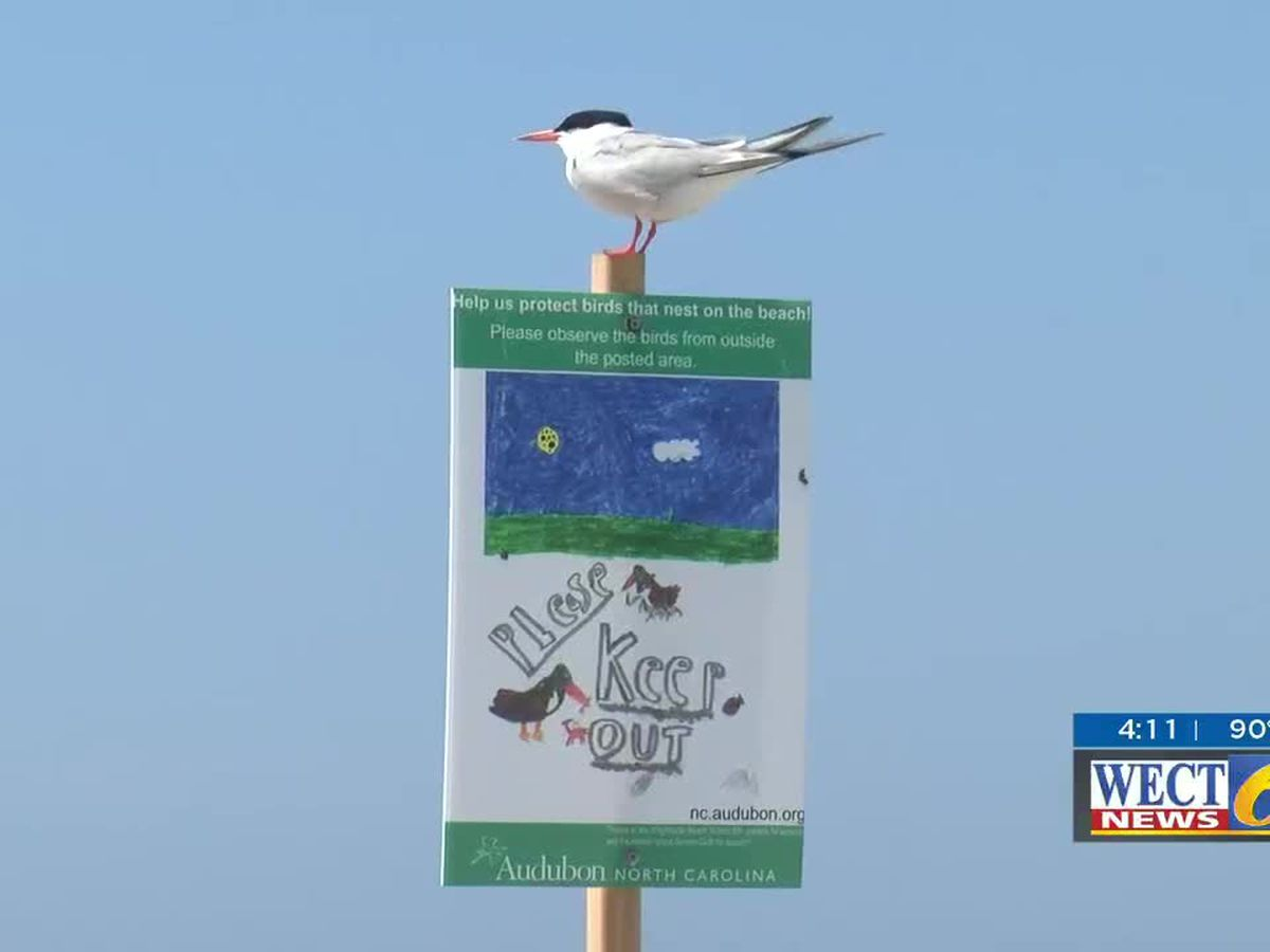 Population of birds soars along Wrightsville Beach's south end