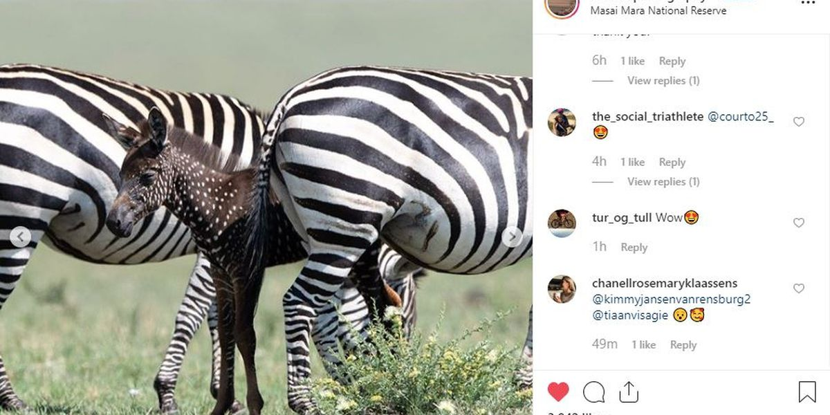Rare spotted zebra photographed in Africa