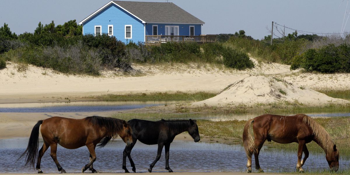 Group of wild horses on the loose in the Outer Banks