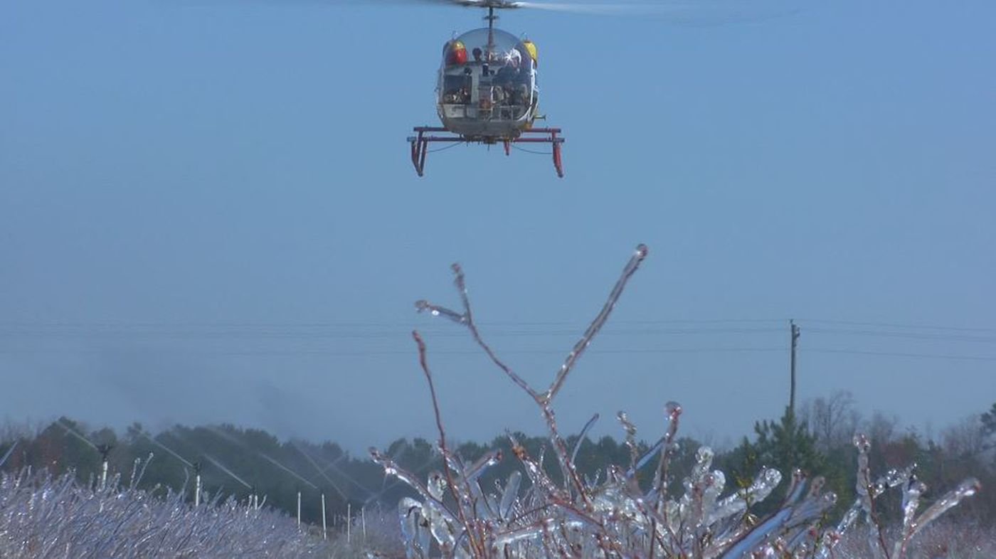Helicopters fly overhead at Winner's Circle farms working to push warm air down on the crop (Source: WECT)