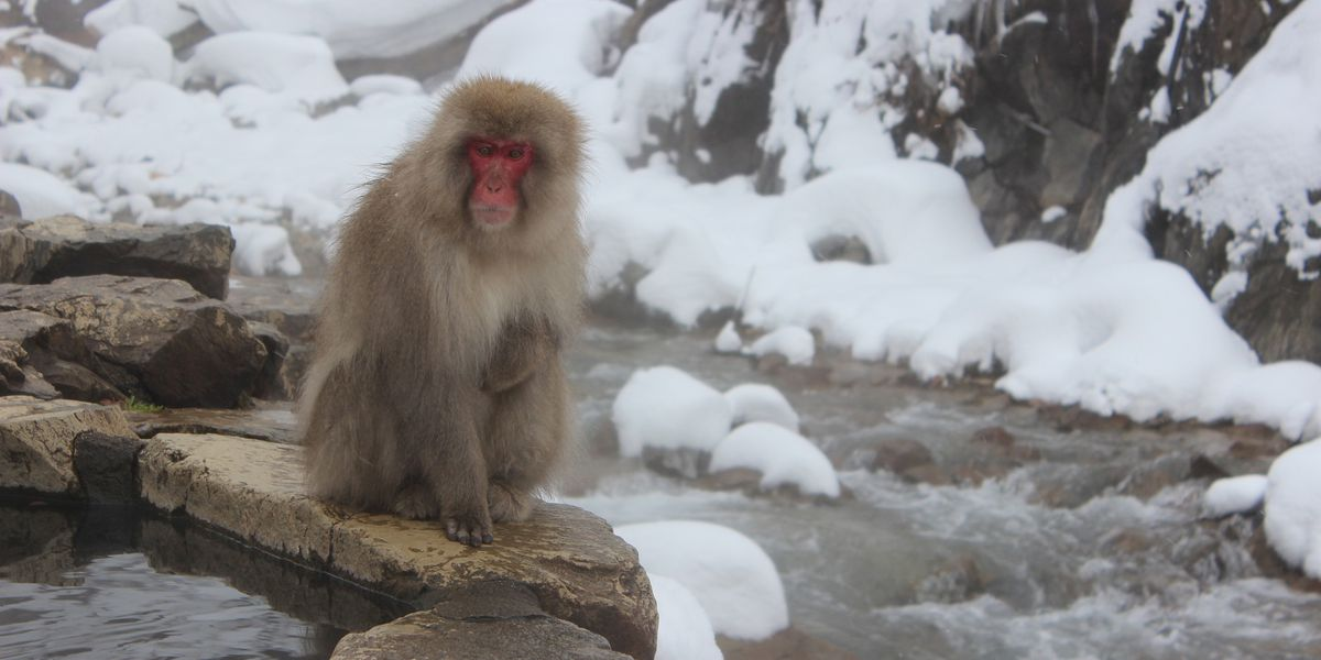 Japanese snow monkey fatally shot after attacking woman