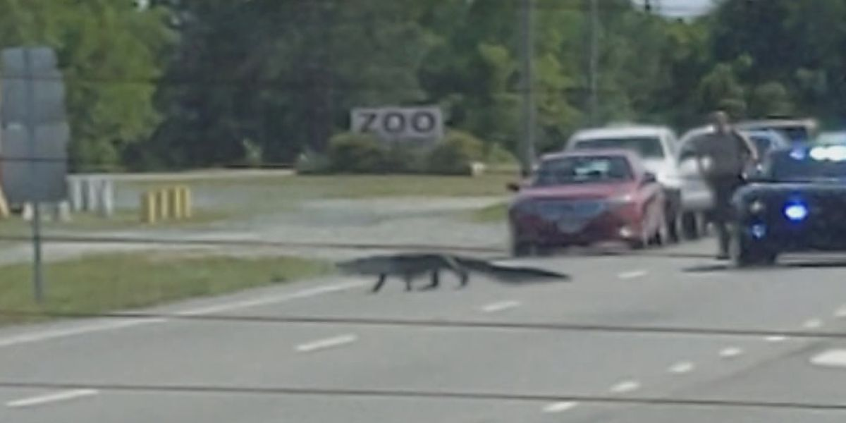 Gator crosses the road in front of zoo