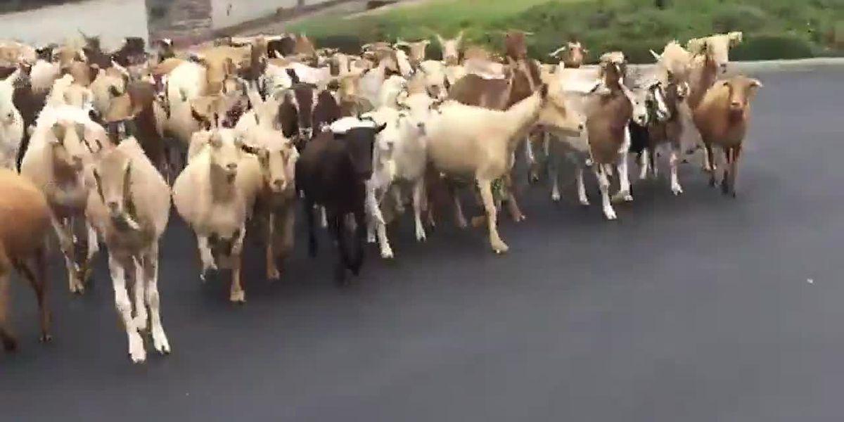 Goats on the lam in California neighborhood
