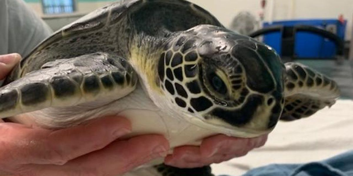 Turtle rescue center planning ocean release for dozens of rehabilitated turtles