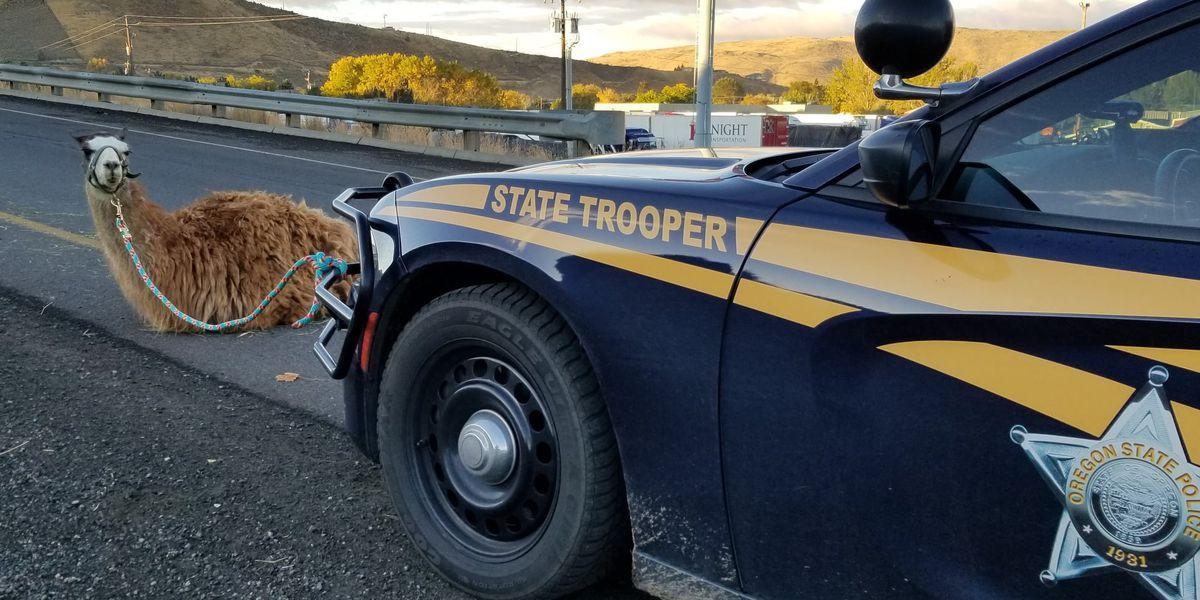 Escaped llama causes drama along Oregon interstate