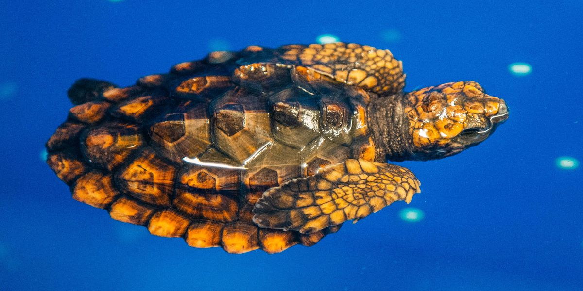 Help name the newest loggerhead sea turtles at Fort Fisher aquarium