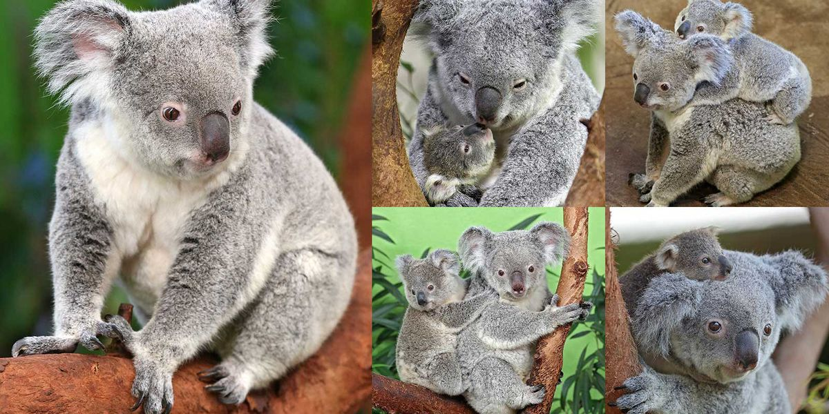 19-year-old koala, considered one of world's oldest, dies at Riverbanks Zoo