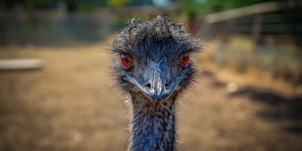 Escaped emu continues to elude capture in NC