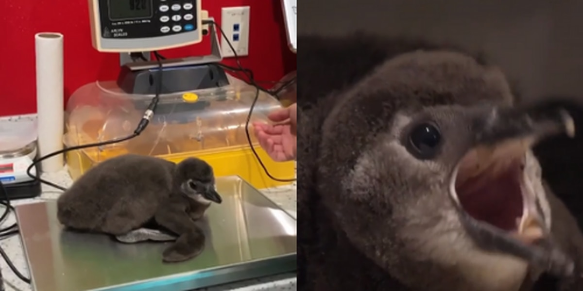 Ripley's Aquarium of Myrtle Beach welcomes first penguin chick