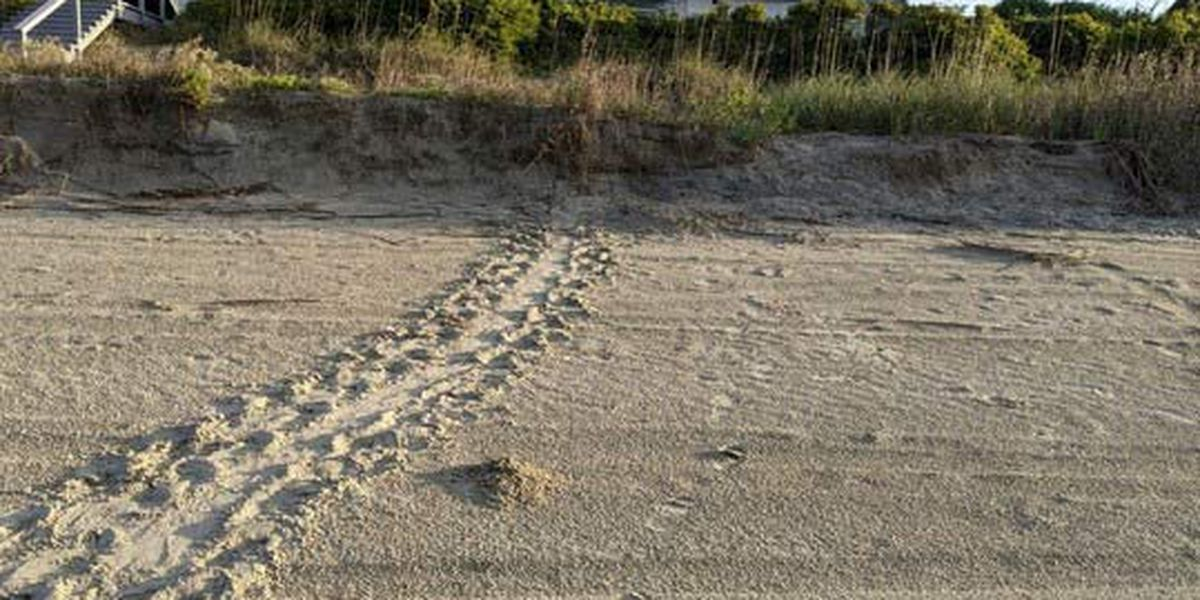 First turtle nest of 2021 season laid in Holden Beach