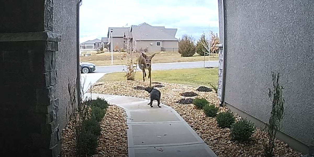 RAW: Deer jumps over dog in yard (Source: Ring)