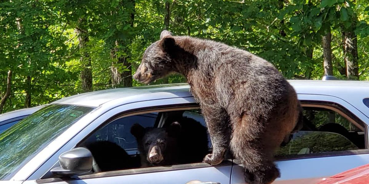 KY man finds unlicensed bears behind wheel of car