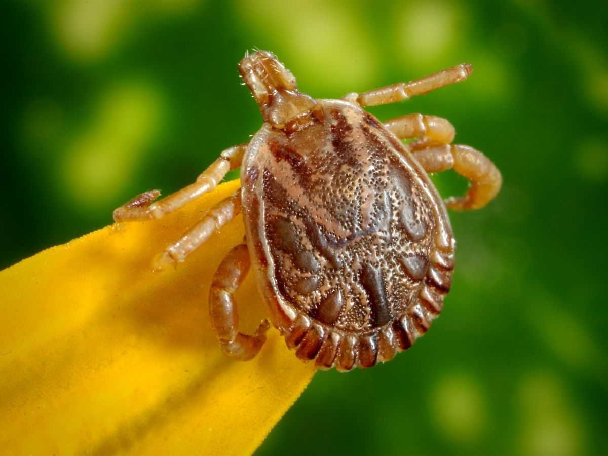 Infectious Disease Doctor: No threat of Lyme disease in the Cape Fear region but you still should worry about tick bites