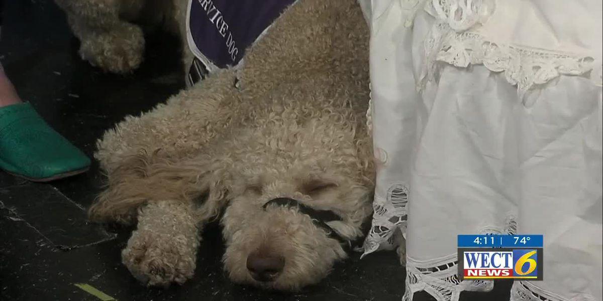 Service dog by Azalea Belle's side marks a festival first