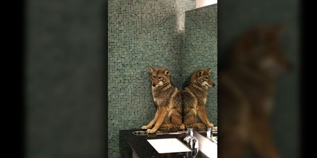 Police remove coyote from bathroom of Nashville convention center