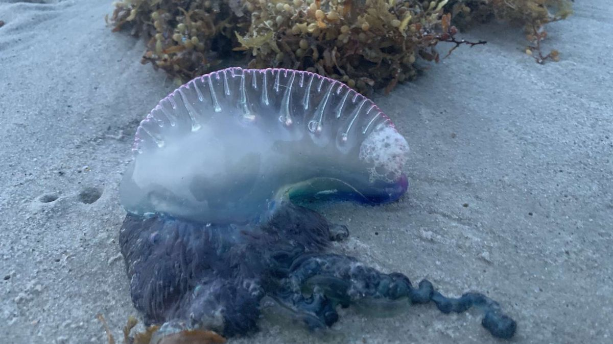 Watch your step! Portuguese man o' war on two beaches