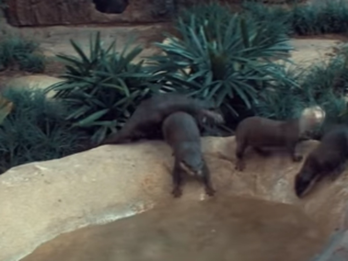 Welcome home! Fort Fisher aquarium's new additions explore new otter habitat