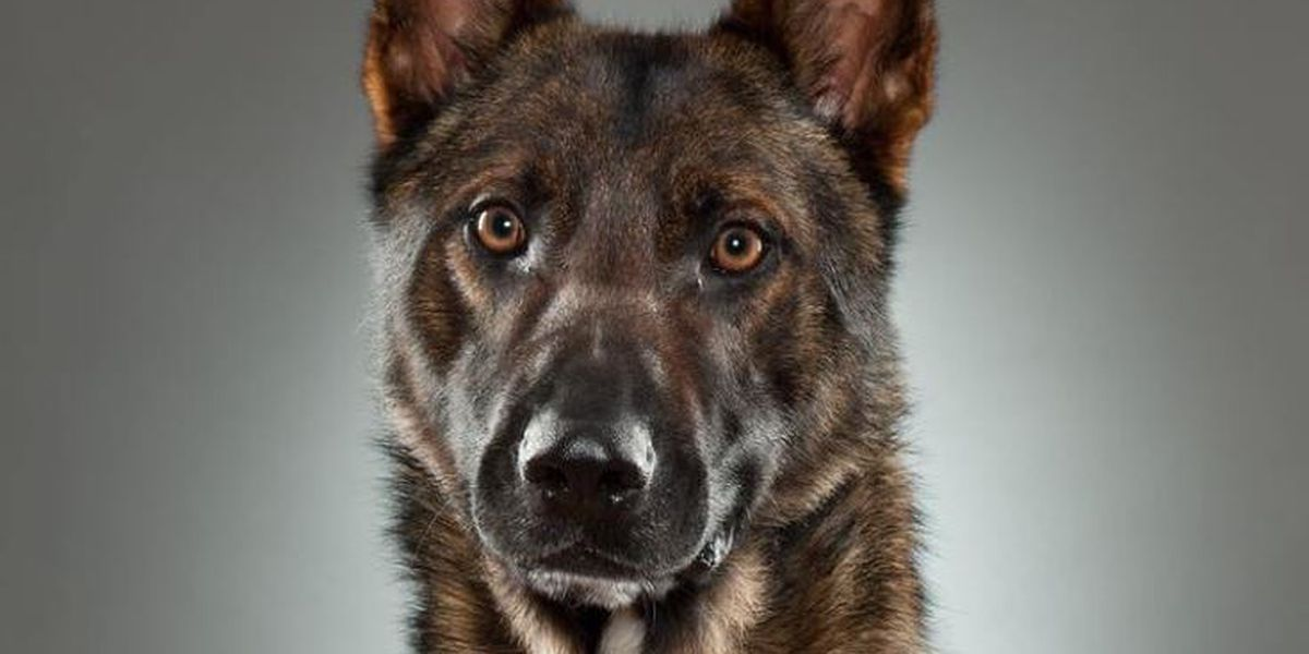 WPD K-9 recuperating after emergency surgery