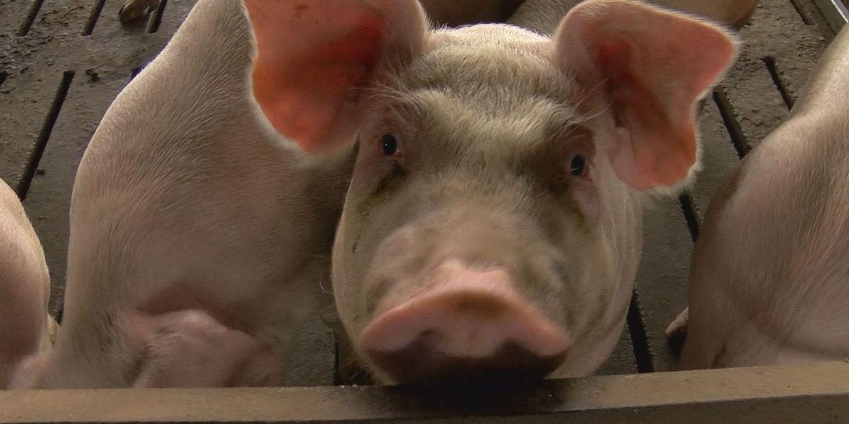 Clearing the air: The hog farm lawsuits