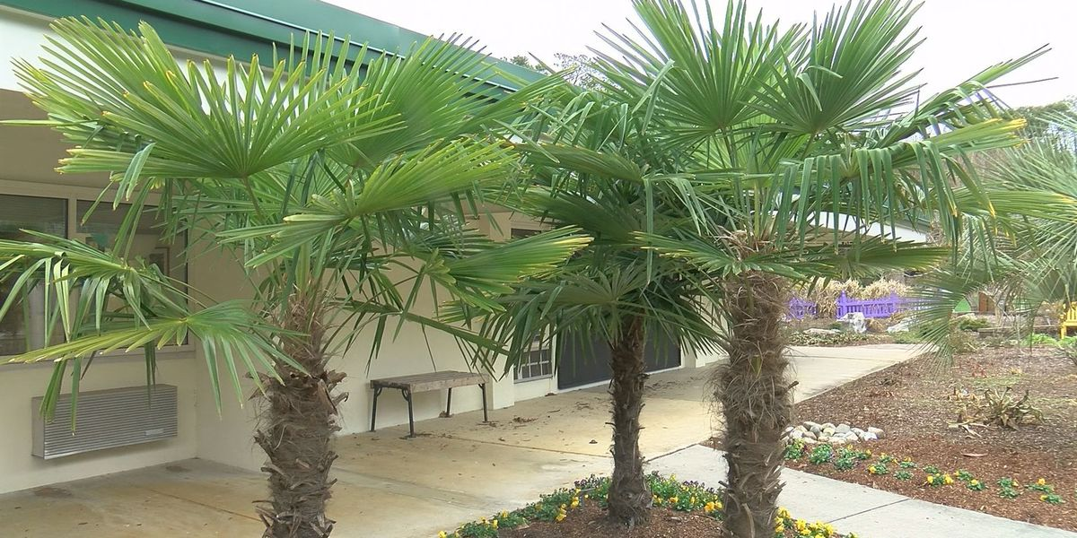 Will palm trees survive the cold?