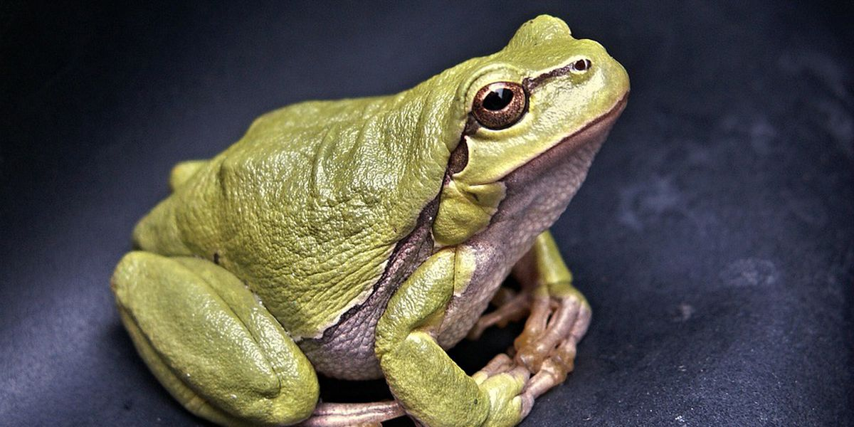 Cape Fear Museum calls for FrogWatch volunteers