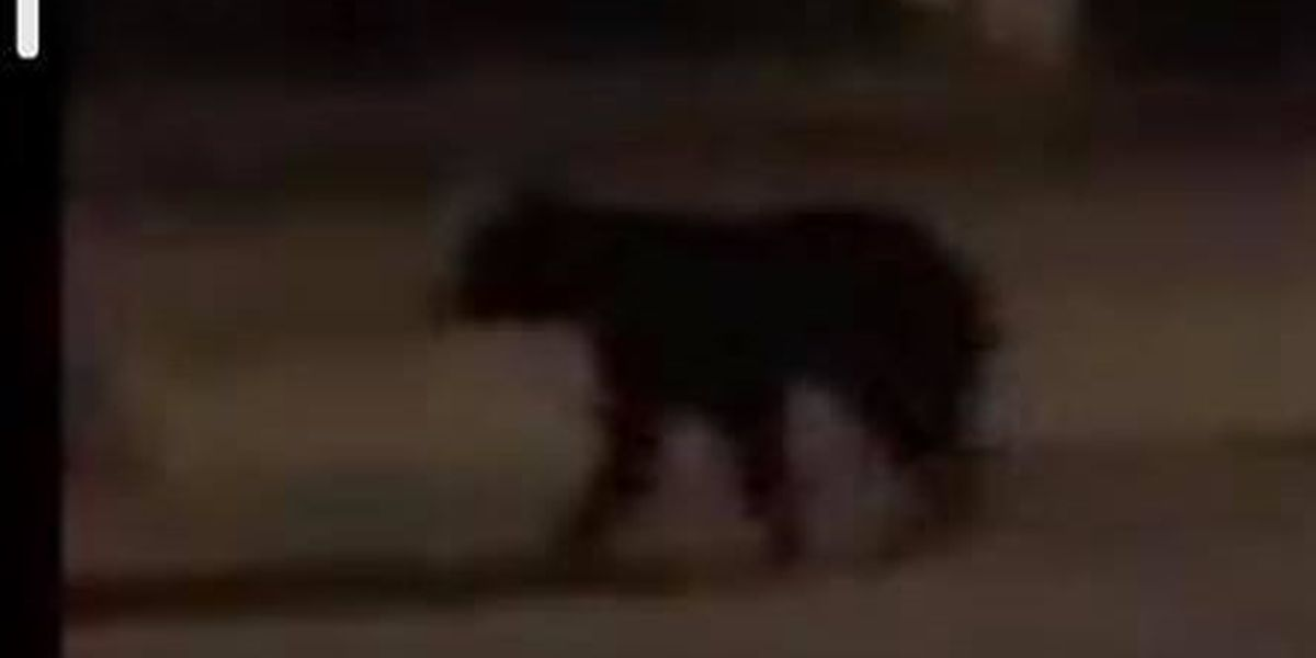 Town sends out warning after small black bear spotted in Wrightsville Beach