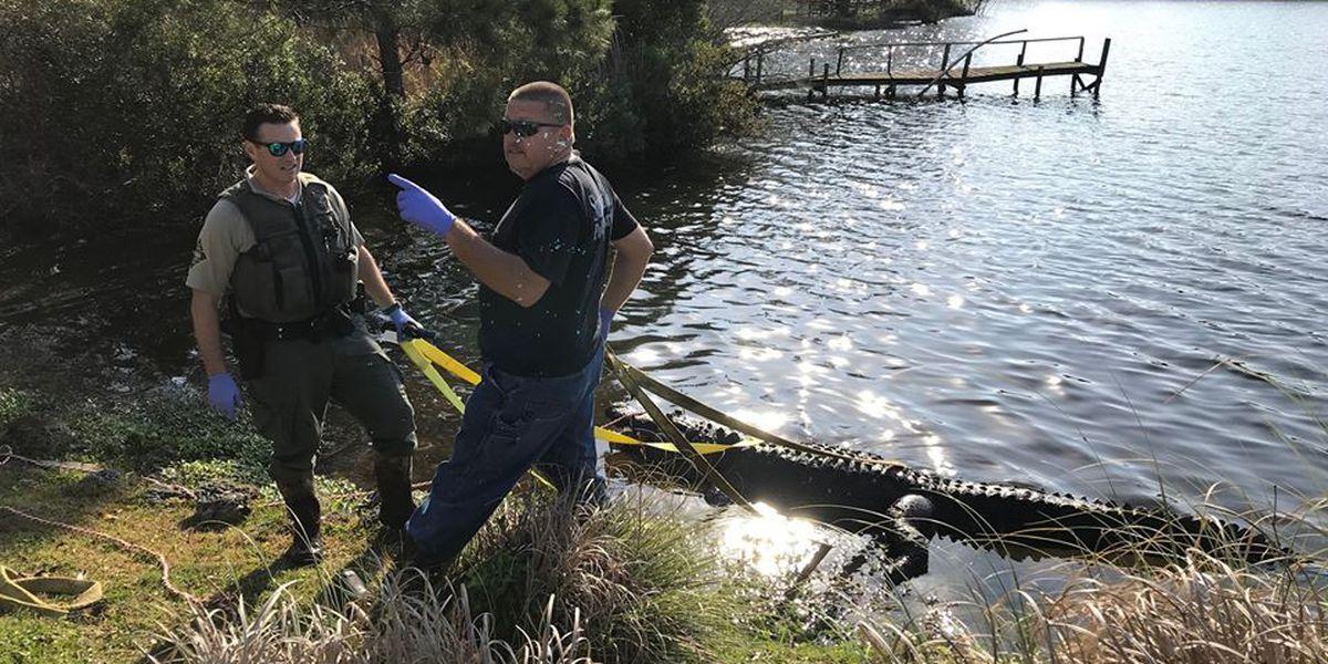 Investigators believe alligator found dead in Sunset Beach lake was fatally shot