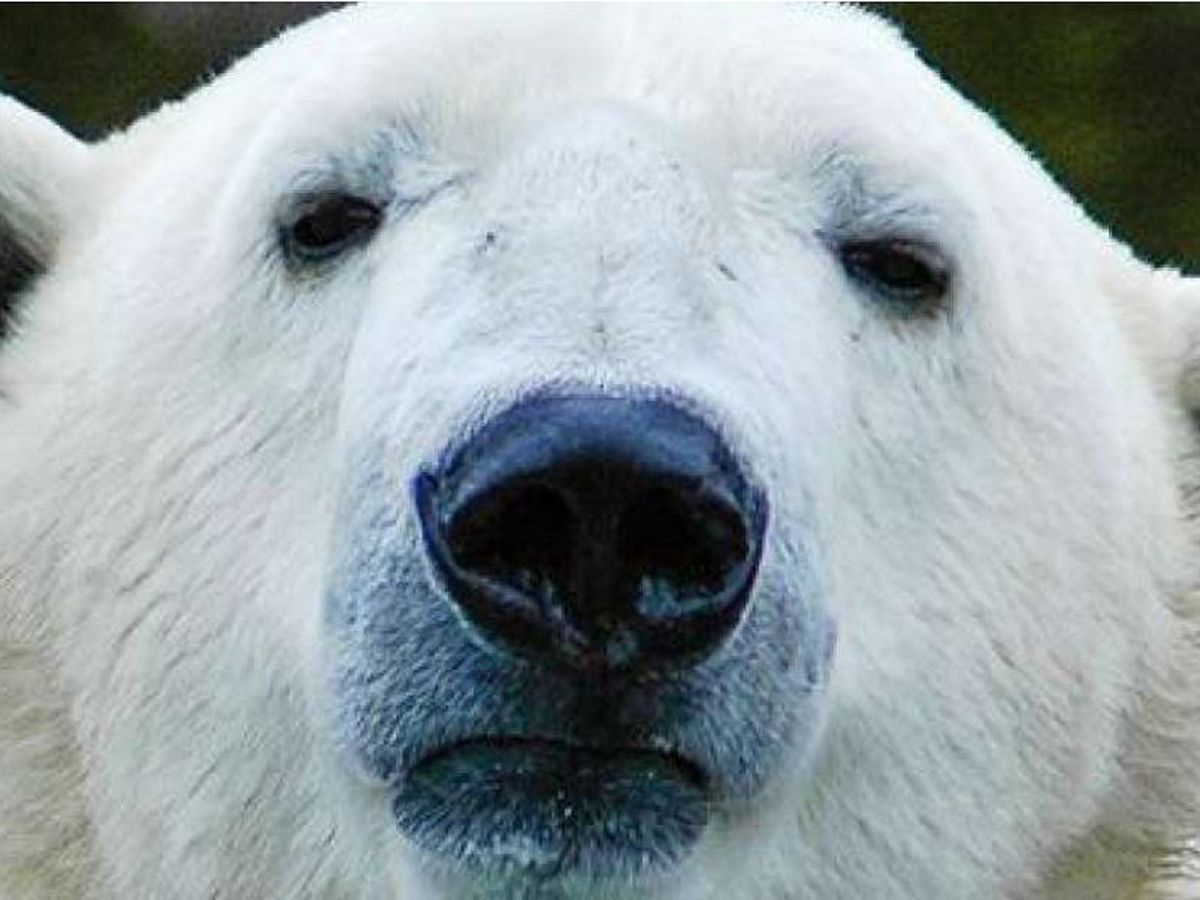 North Carolina Zoo holds contest to name adopted polar bear
