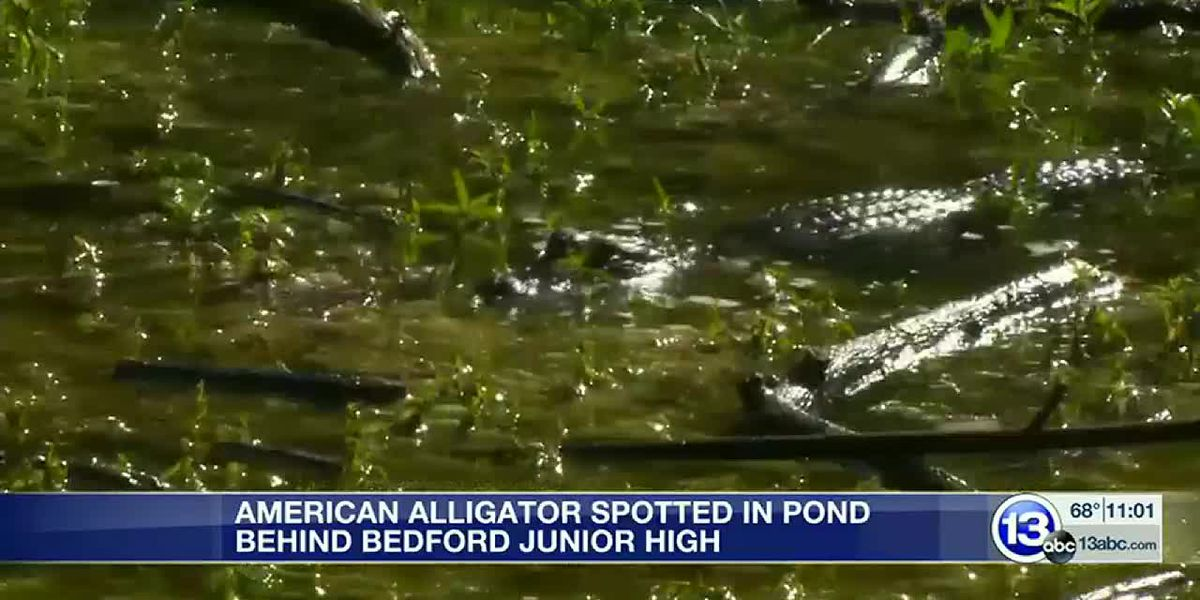 Alligator seen in Michigan pond near junior high