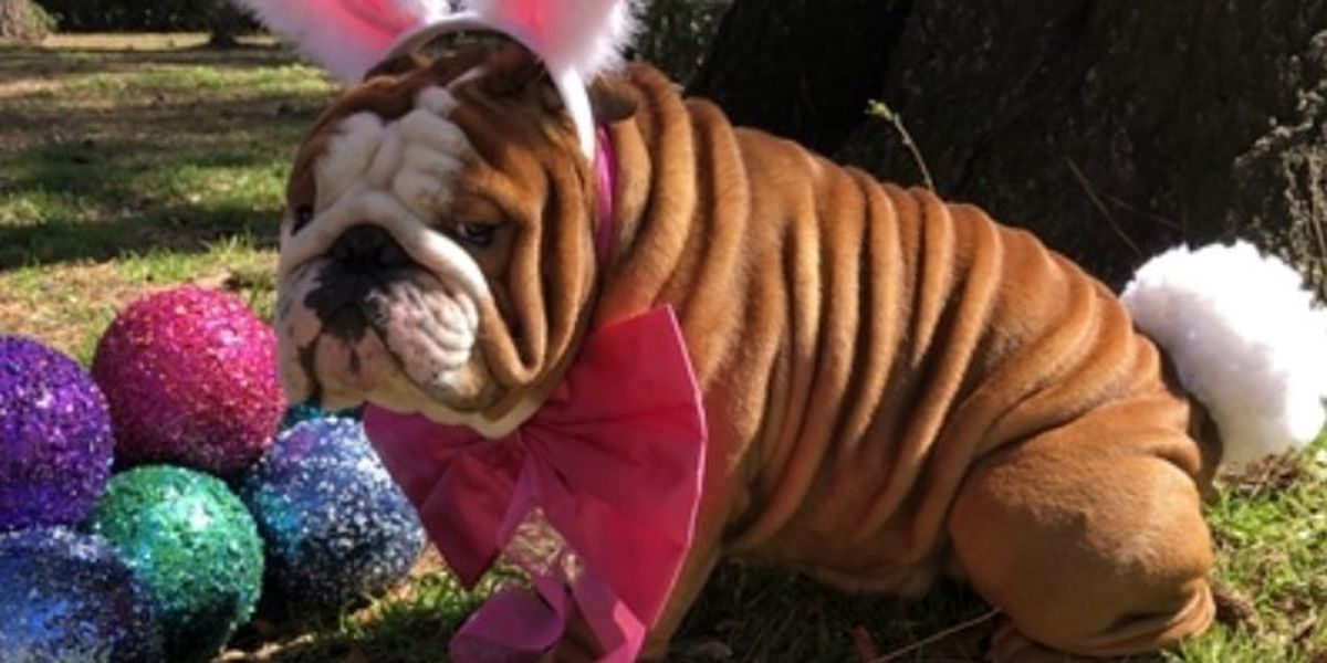 Wilmington bulldog named Cadbury's newest bunny