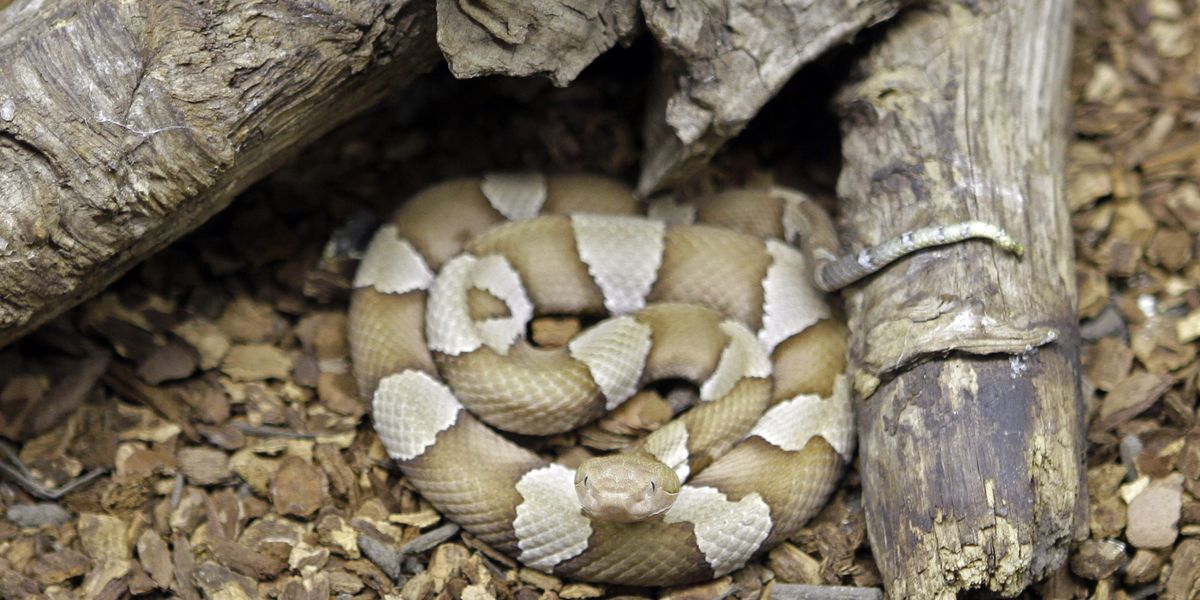Planning yard work? Watch out for copperheads