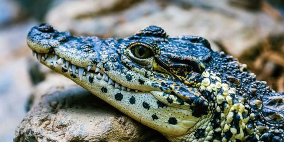 State extends alligator hunting application period by one month; Lake Waccamaw signs on