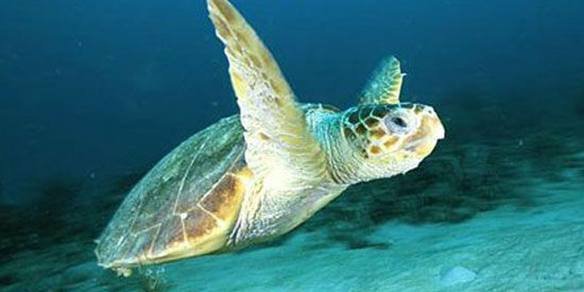 Topsail Turtle Project gearing up for nesting season