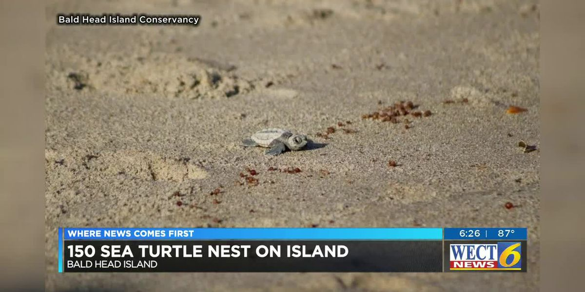 Record-breaking year for sea turtle nests on Bald Head Island