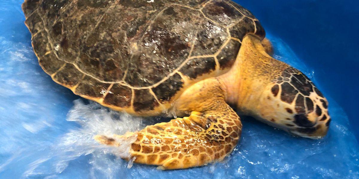 Rare sea turtles smash nesting records in Georgia, Carolinas