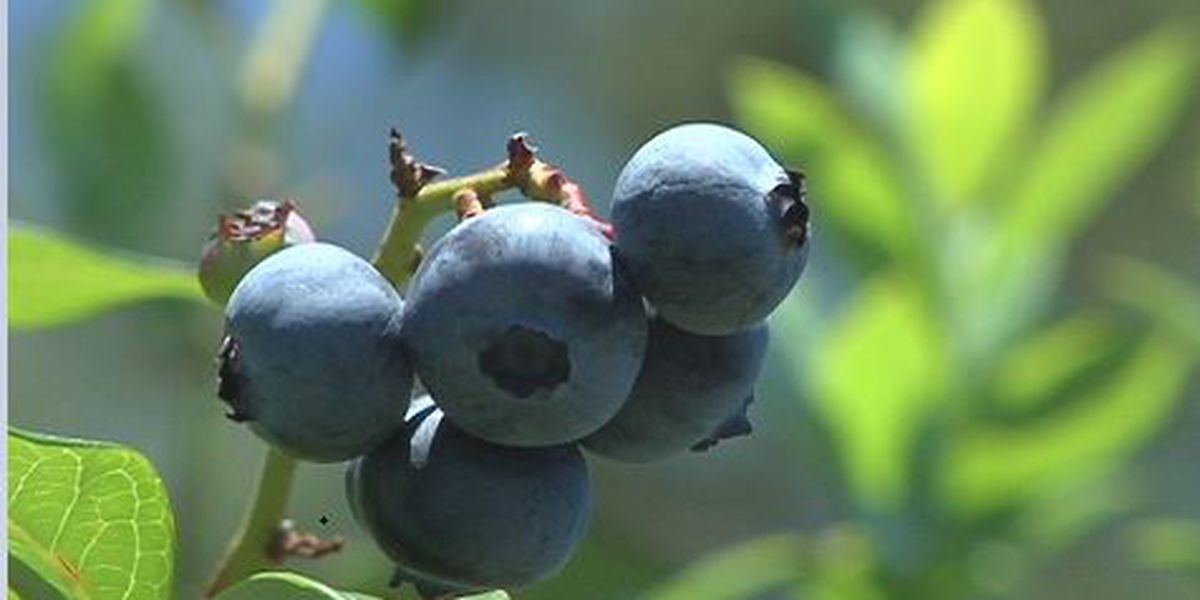 Overnight freeze likely to damage blueberry crops
