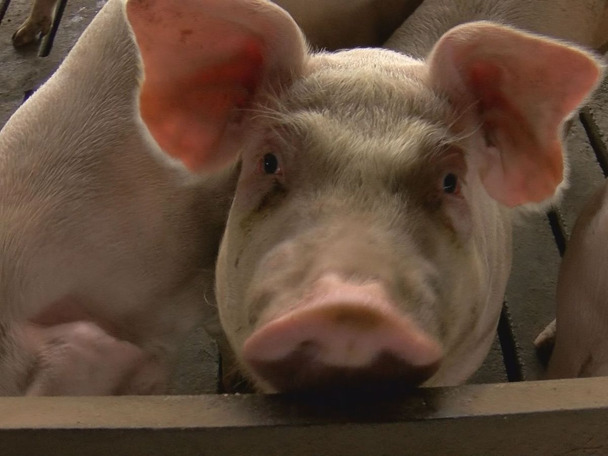 Clearing the air: The hog farm lawsuits
