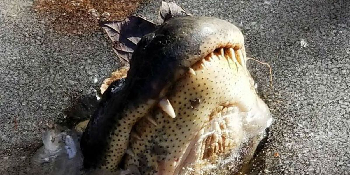 Alligators get a nose up on icy conditions