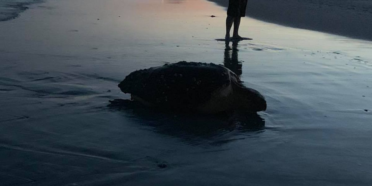 Ocean Isle Beach rescue group shares video of sunset sea turtle crawl