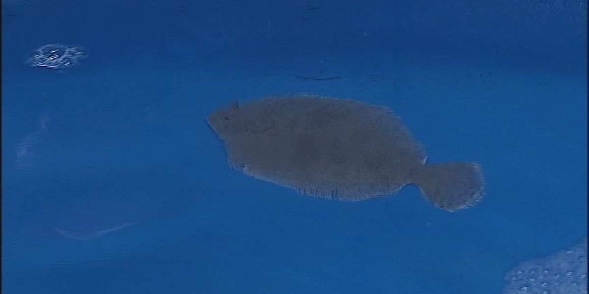 Marine Fisheries Commission voting on new southern flounder regulations Thursday