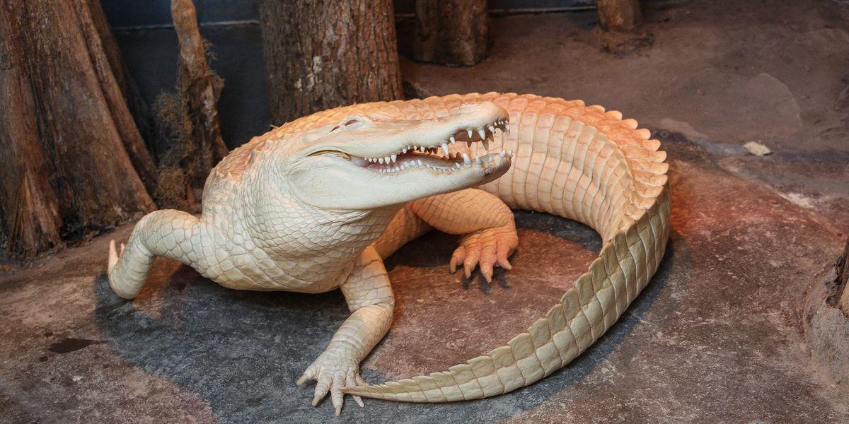 Rare albino alligator at SC Aquarium dies following battle with infection