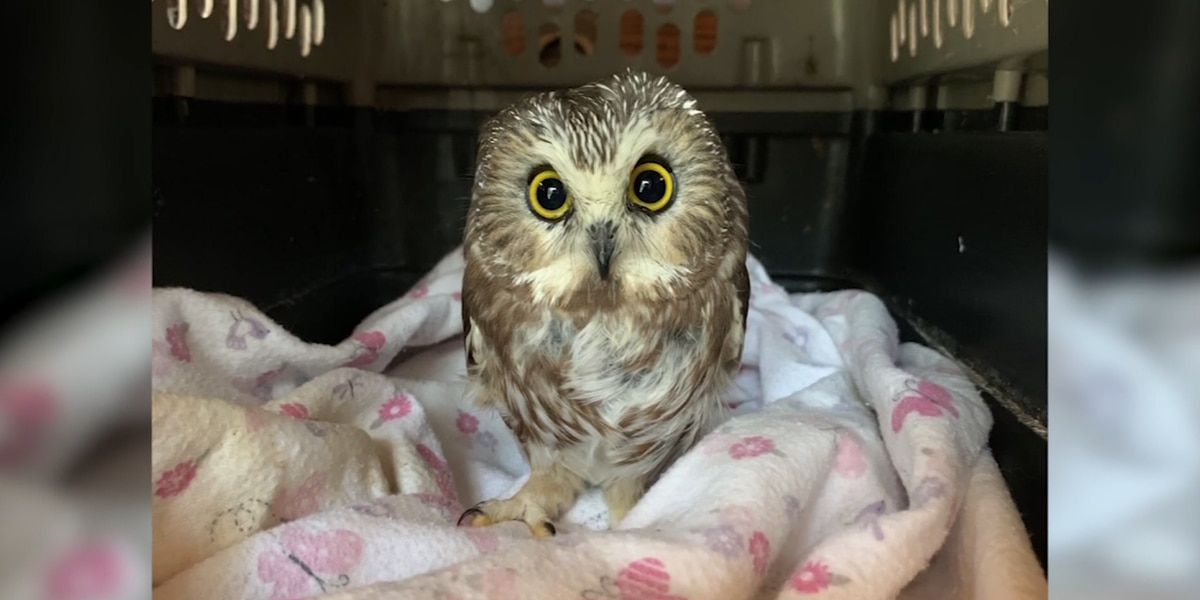 Rocky the Christmas tree stowaway owl returns to the wild