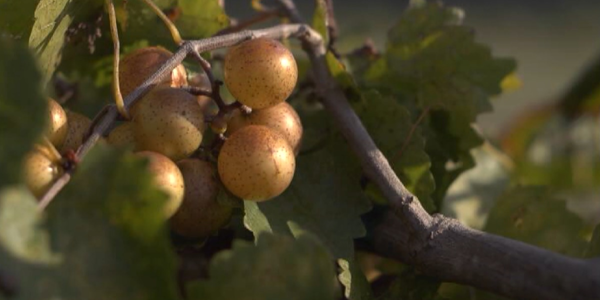 'It's going to change the health of the nation:' Growers tout health benefits of local grape