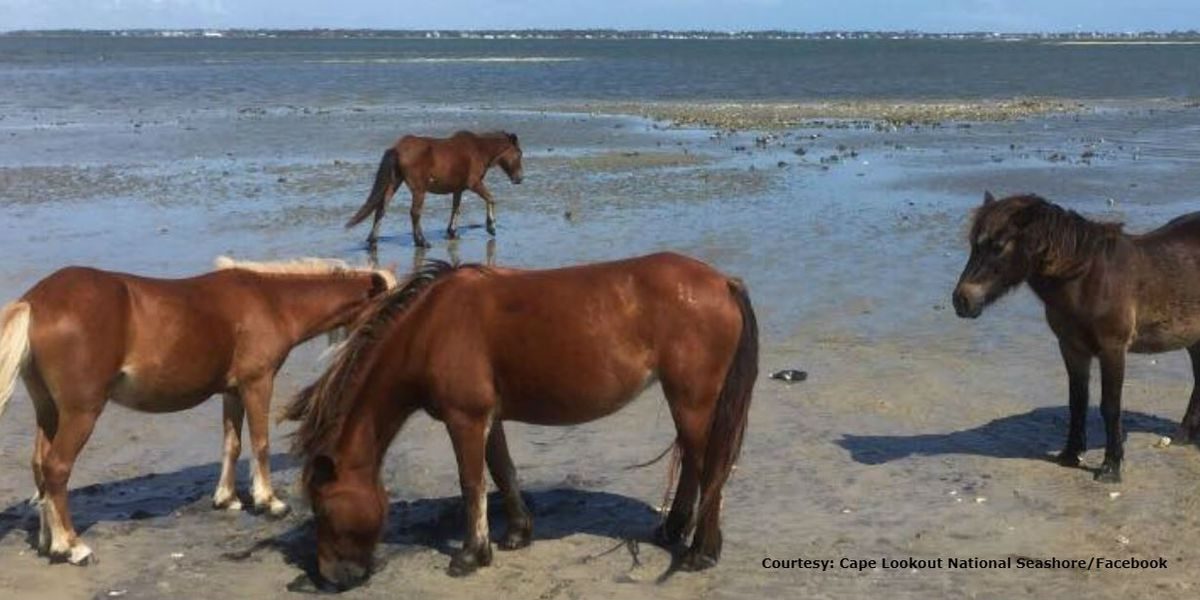 2 groups of wild horses at NC islands safe after Hurricane Dorian