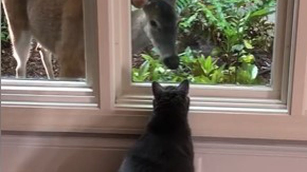 Cat and deer become friends through window
