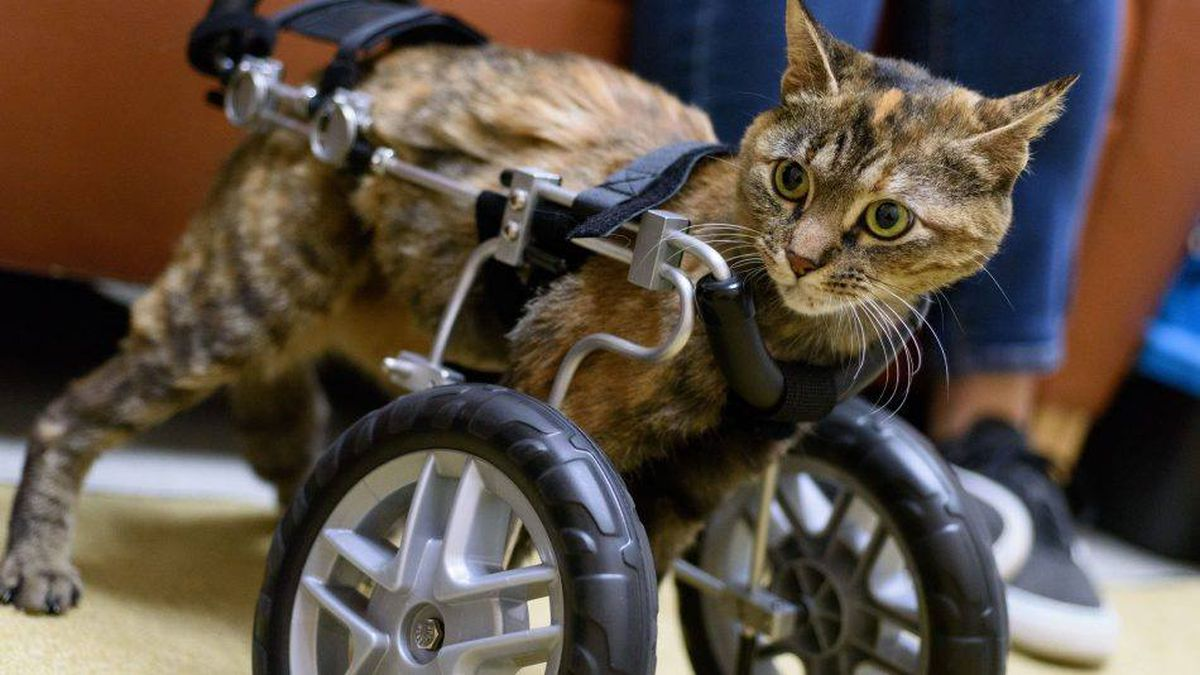 Stray cat found bound with electrical tape thriving with a cart for front legs