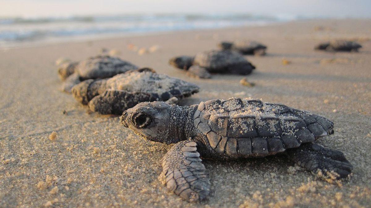 Hurricane Florence impact on upcoming sea turtle nesting season