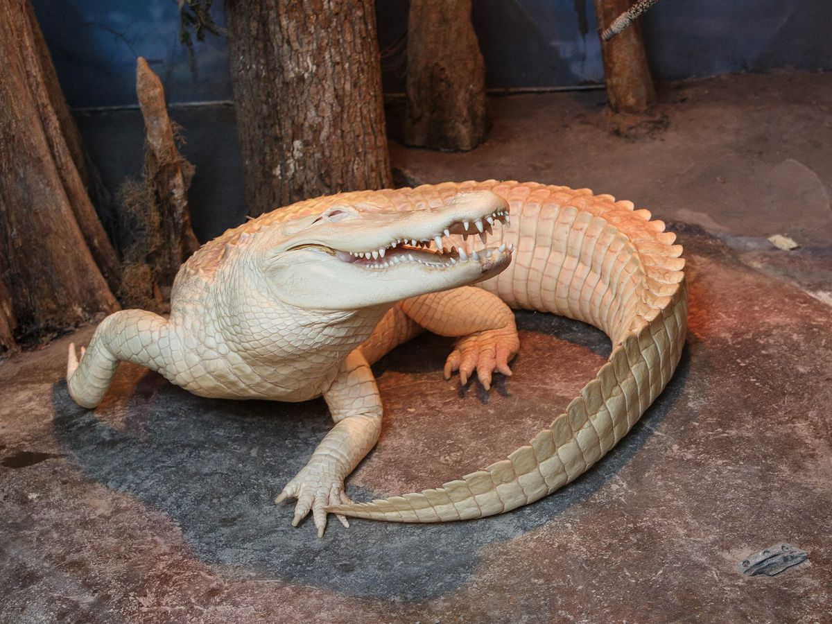 Rare albino alligator at SC Aquarium dies following battle with infection