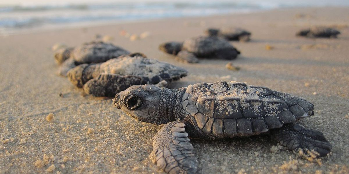 Bald Head Island Conservancy wins award for work with sea turtles